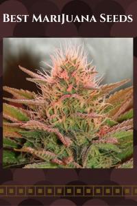 Best Marijuana Seeds - Best cannabis seeds