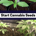 How to Start Cannabis Seeds – Growing Cannabis from Seed