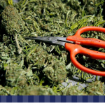 How to Trim Marijuana Plants – Cannabis Growing Tips