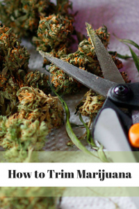How to Trim Marijuana - how to trim cannabis - cannabis growing tips