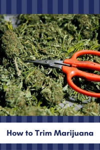 How to Trim Marijuana
