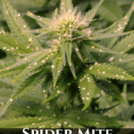 Marijuana Spider Mite Control - Cannabis Spider Mite Control