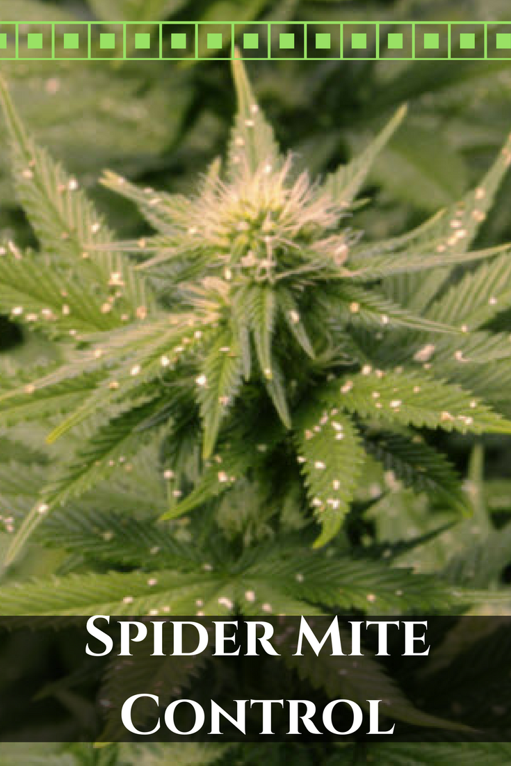 Marijuana Spider Mite Control - Stop Spider Motes