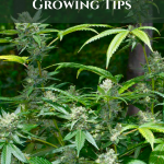 Beginners Outdoor Cannabis Growing Tips