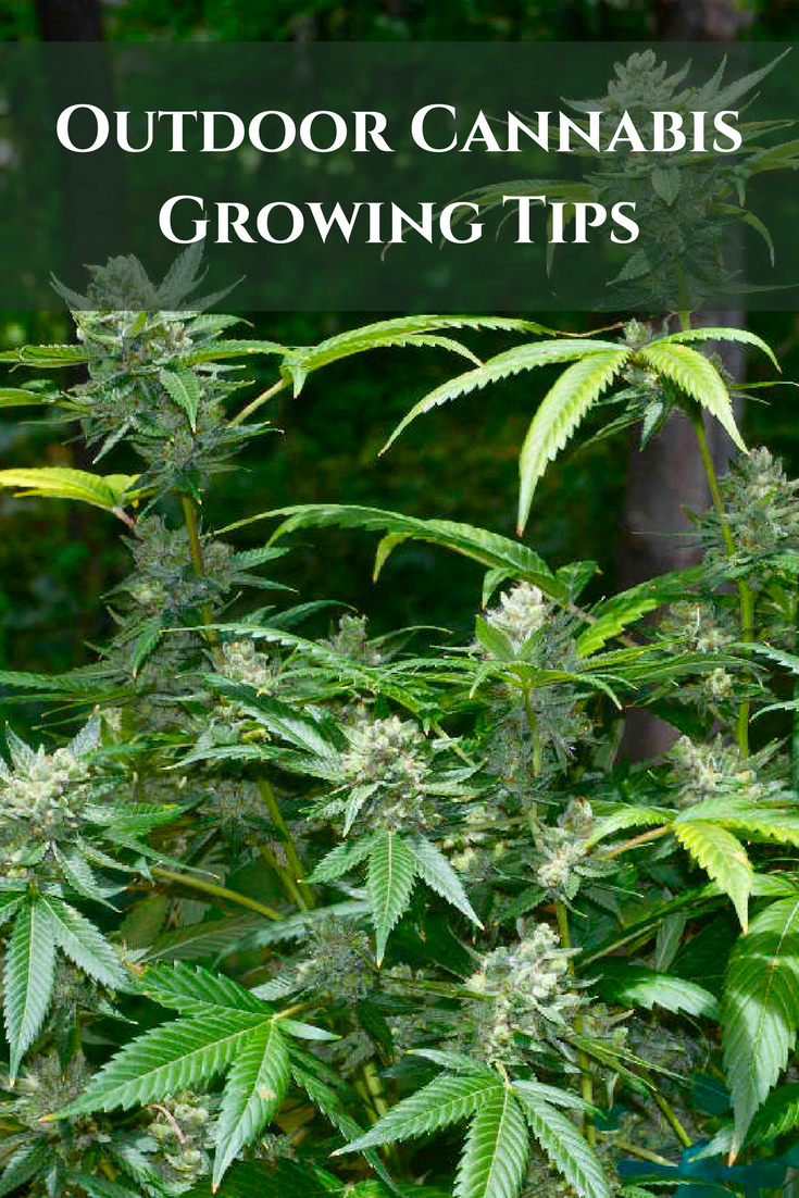 Outdoor Cannabis Growing Tips