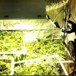 Cannabis Grow Tents – Growing Marijuana Plant indoors