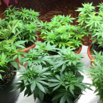 Hydroponic Grow Pots - Best Marijuana Grow Pots