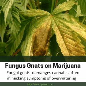 Fungus Gnats on Marijuana -Fungus gnats and marijuana