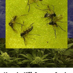 Kill Fungus Gnats – Easily Get Rid of Fungus Gnats on Marijuana